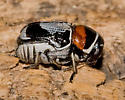 Leaf Beetle - Griburius montezuma