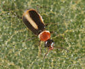 Tiny Madera beetle