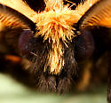 Moth ID - Apantesis phalerata - male