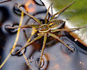 Dolomedes triton - Six-spotted Fishing Spider - Dolomedes triton