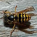 Unknown Wasp - Dolichovespula arenaria