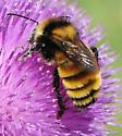 Bombus borealis - Northern Amber Bumble Bee Male - Bombus borealis - male