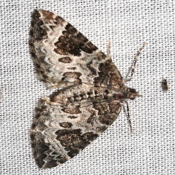 White Eulithis - Hodges#7206 - Eulithis explanata