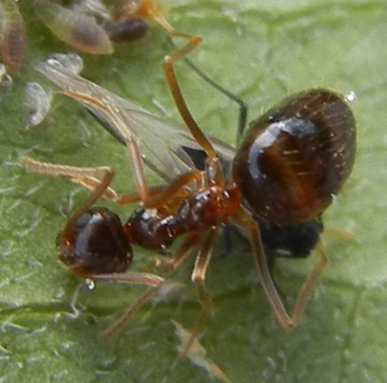 ant aphid gathering - Prenolepis imparis