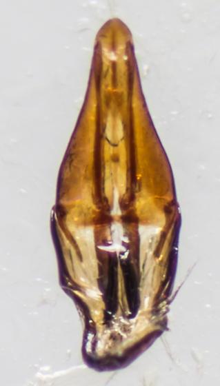 Beetle - Simplocaria semistriata