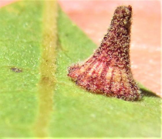 Striated cone galls - Andricus atrimentus