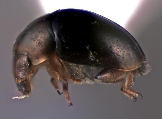 Cybocephalidae - Cybocephalus - male