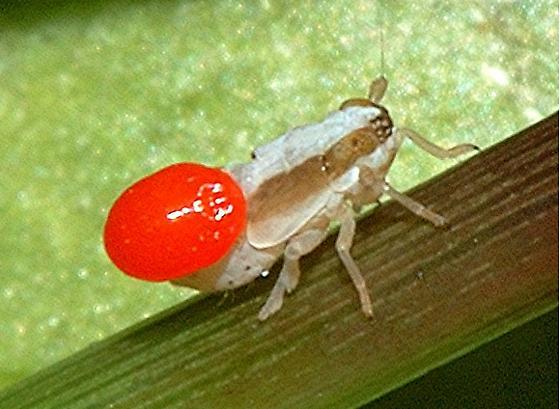 Hopper Nymph - Liburniella ornata