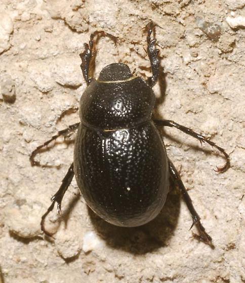 Zavala Phyllophaga  - Phyllophaga zavalana