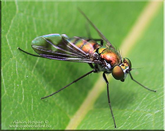 Condylostylus ? - Condylostylus patibulatus - female