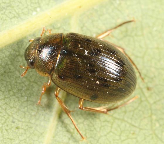 Water Scavenger Beetle - Berosus hatchi
