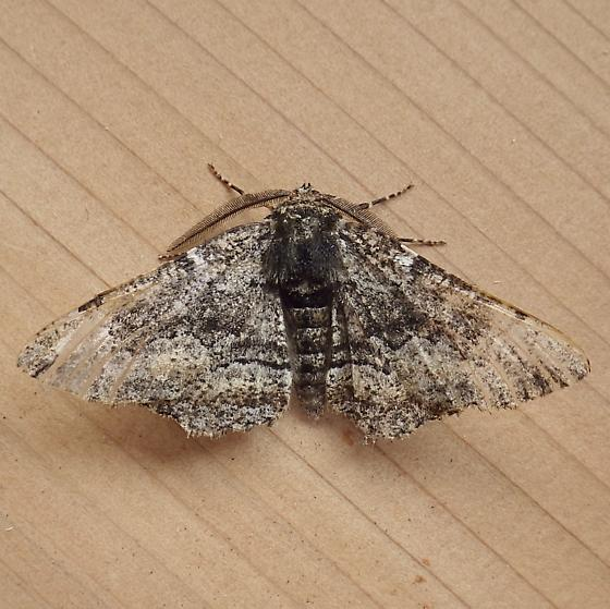 Geometridae: Phaeoura quernaria? - Phaeoura