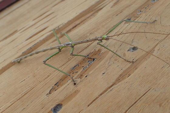 unknown walking stick - Haplopus scabricollis
