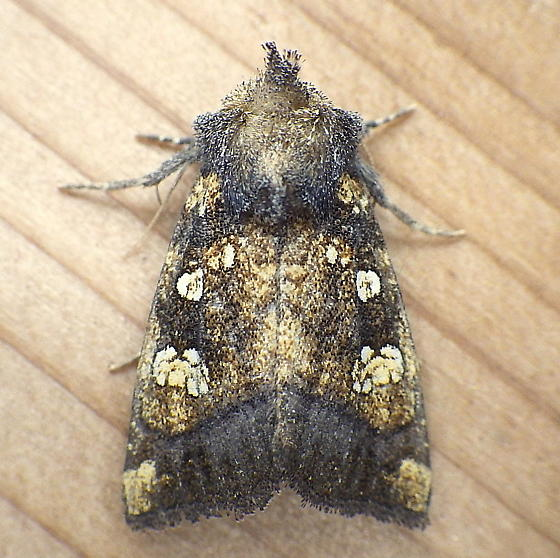 Noctuidae: Papaipema - Papaipema cataphracta