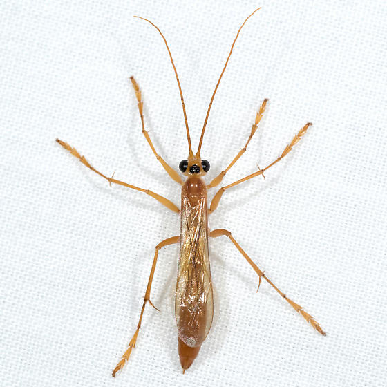 Rhopalosoma nearcticum - female