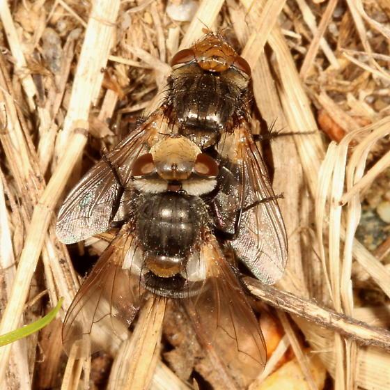 Flies - Gonia sagax - male - female