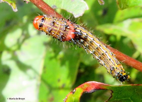 Red-humped caterpillar moth - Schizura concinna