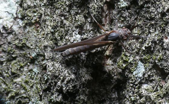 Some kind of Mayfly - Leptophlebia