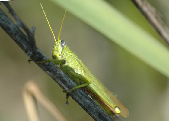 Bright Green Grasshopper - Schistocerca shoshone - male