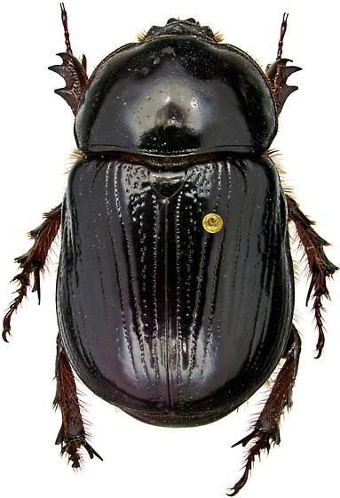 Xyloryctes jamaicensis (Drury) - Xyloryctes jamaicensis