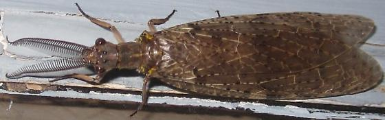 Brown Lacewing - Chauliodes pectinicornis