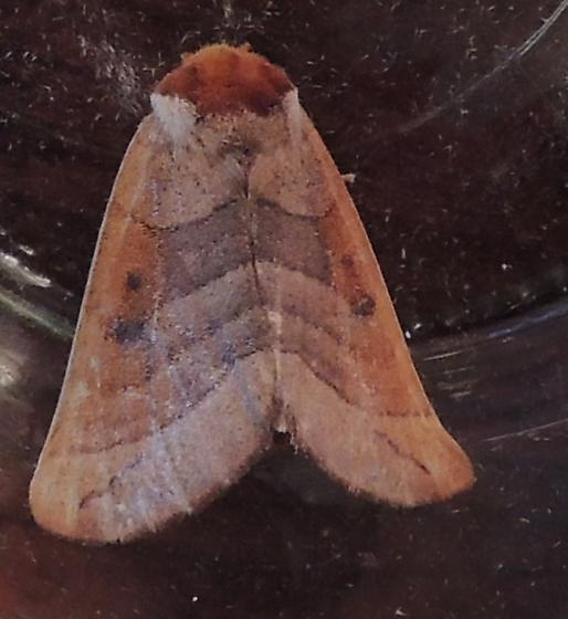headless red moth - Datana perspicua