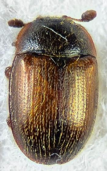 Neat little Nitidulid? - Pocadius fulvipennis