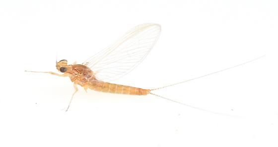 Mayfly - female