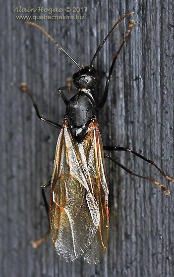 Formicidae - Camponotus