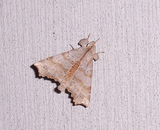 Angel Moth - Olceclostera angelica