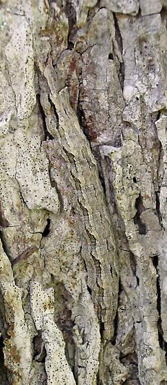 Sad Underwing Caterpillar - Catocala maestosa