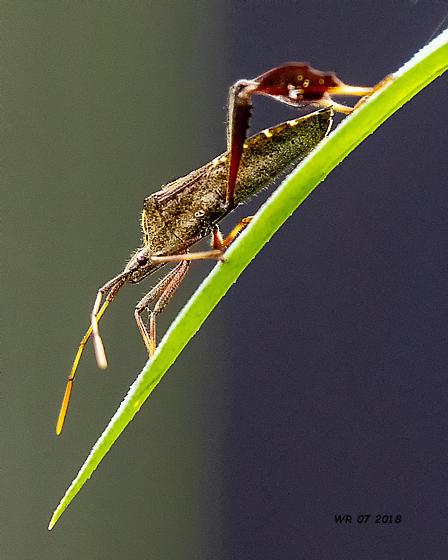 Eastern Leaf-footed Bugs - Leptoglossus phyllopus  - Leptoglossus phyllopus