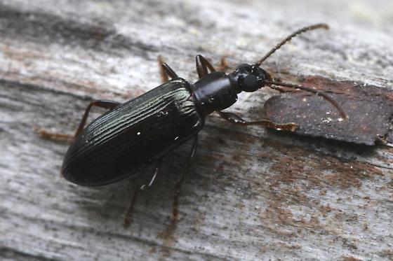 ground beetle - Statira gagatina