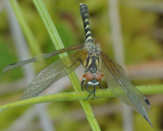 Anisopteran Nannothemis bella female? - Nannothemis bella - female