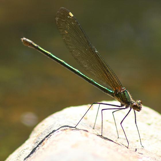 Superb Jewelwing - Calopteryx amata - female