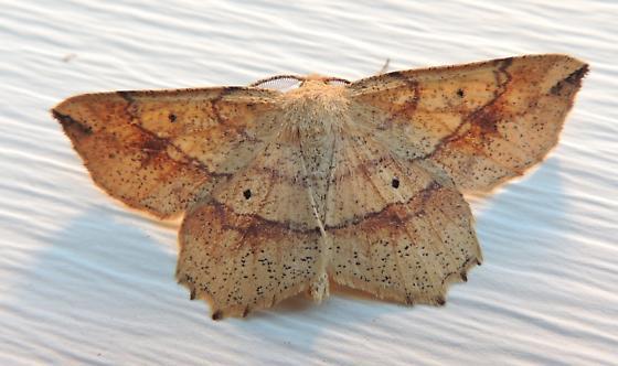 Euchlaena deplanaria - Hodges#6732 (Euchlaena deplanaria) - Euchlaena deplanaria - male
