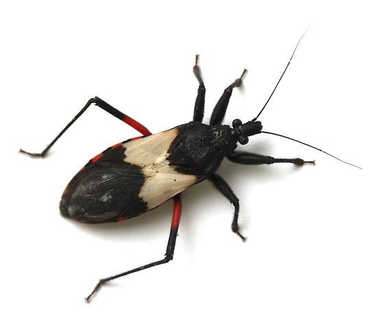 Microtomus purcis - female
