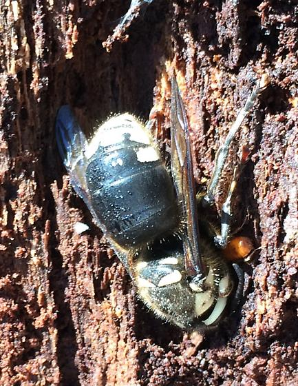 Dolichovespula maculata - Bald-faced Hornet - Queen? - Dolichovespula maculata - female
