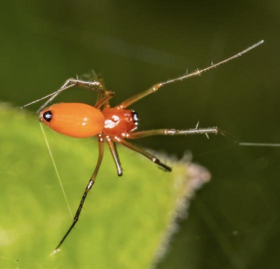 Spider - Florinda coccinea