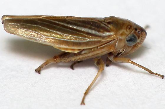 Ciminius hartii - female