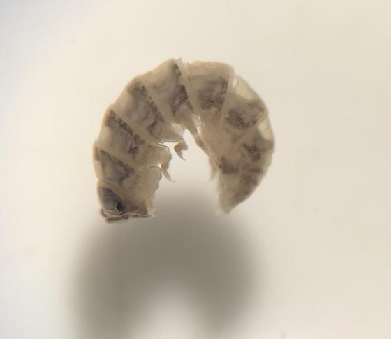 Armadillidiidae?