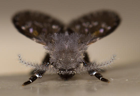 Large Drain Fly (Filter Fly) - Clogmia albipunctata