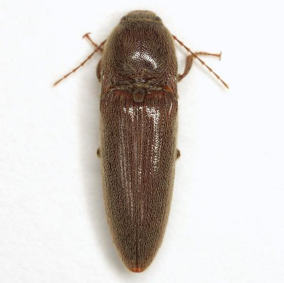 Melanotus communis-complex