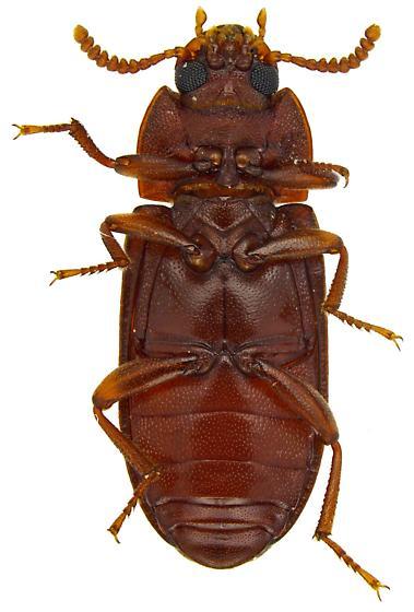 Tribolium? - Cynaeus angustus