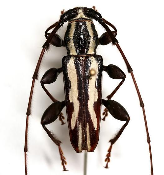 Ornithia mexicana mexicana (Sturm) - Ornithia mexicana