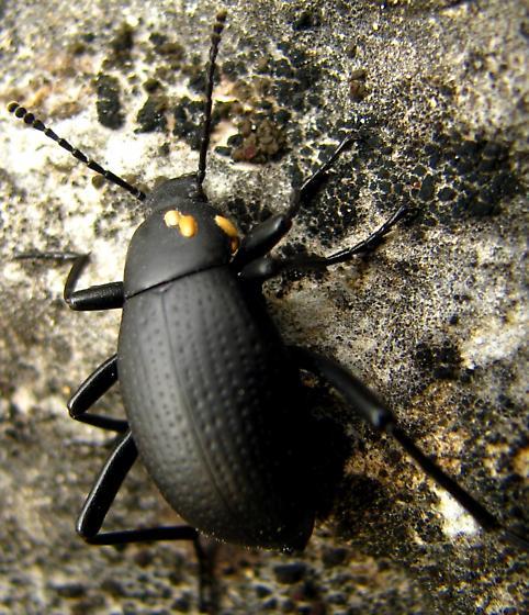 Fungus on darkling beetle? - Eleodes goryi