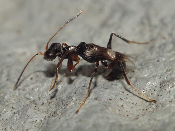 Unknown Hymenoptera - Dryinus crawfordi