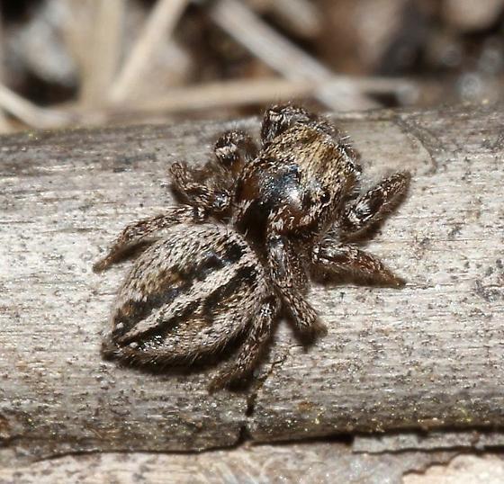 One of many females - Habronattus trimaculatus - female