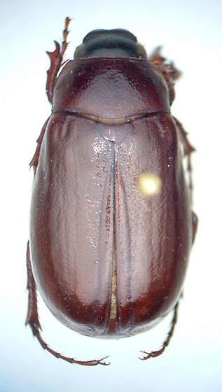 Phyllophaga fraterna - male