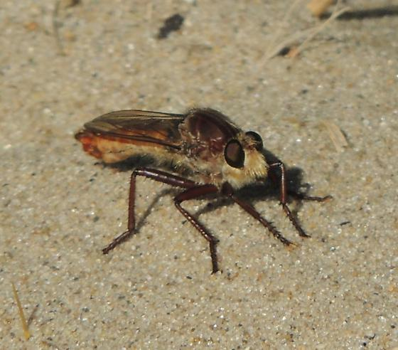 No. IN Robber Fly